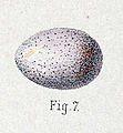 Locustella thoracica egg 1889.jpg