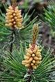 "Lodgepole Pine ""Flowers"" (2548928203).jpg"