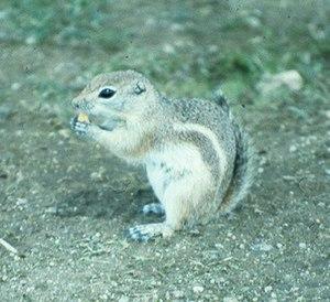 San Joaquin antelope squirrel