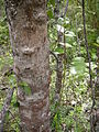 Lomatia hirsuta - trunk and branch - 01.JPG