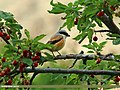 Long-tailed Shrike (Lanius schach) (20746333455).jpg