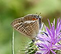 Long-tailed blue. Lampides boeticus (31743255863).jpg