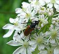 Longhorn Beetle. Leptura livida. Cerambycidae - Flickr - gailhampshire.jpg