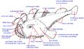 Lophiidae ro.png