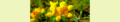 Lotus corniculatus. Reader.png