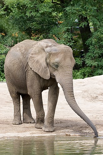 Roger Williams Park Zoo - Image: Loxodonta africana Roger Williams Park Zoo, USA 8a