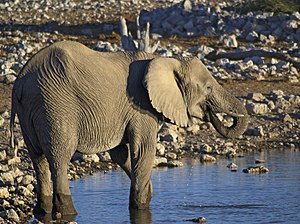 Desert elephant - Drinking at a waterhole in Etosha National Park