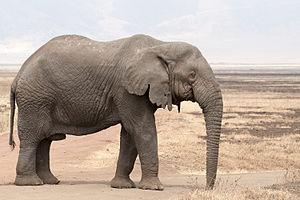Loxodonta africana - old bull (Ngorongoro, 2009).jpg