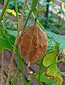Luffa operculata 04.JPG