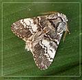 Lunar Marbled Brown. Drymonia ruficornis (5616248514).jpg