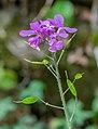 Lunaria annua in Aveyron 02.jpg