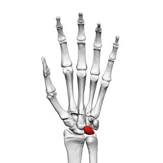 Lunate bone bone of the carpus
