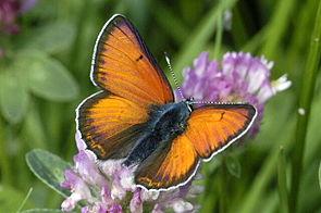 Männchen des Lilagold-Feuerfalters (Lycaena hippothoe)