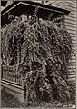 Lycium Chinense (Matrimony Vine) 1901.jpg