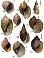 Lymnaeidae (10.3897-zse.92.8107) Figures 22–31.jpg