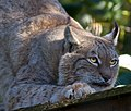 Lynx 4 (8148826401).jpg
