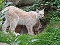 Lynx lynx (Kerkrade Zoo) 01.jpg