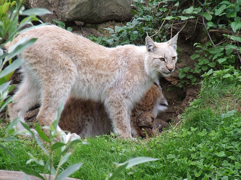 « Lynx lynx (Kerkrade Zoo) 01 » par Gérard van Drunen — Flickr. Sous licence CC BY 2.0 via Wikimedia Commons - https://commons.wikimedia.org/wiki/File:Lynx_lynx_(Kerkrade_Zoo)_01.jpg#/media/File:Lynx_lynx_(Kerkrade_Zoo)_01.jpg