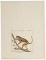 Macacus sinicus - 1829-1867 - Print - Iconographia Zoologica - Special Collections University of Amsterdam - UBA01 IZ20000021.tif