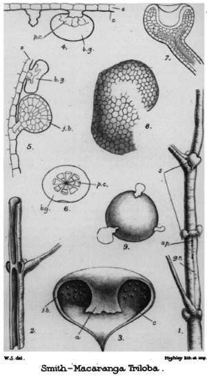 Winifred Smith - Parts of a Macaranga triloba plant drawn by Winifred Smith