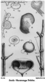 Macaranga Triloba.png