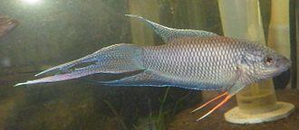 Red-backed paradise fish - Image: Macropodus erythropterus male