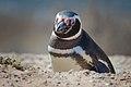 Magellanic penguin, Valdes Peninsula, a.jpg
