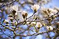 Magnolia Sky (4026136228).jpg