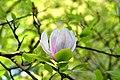 Magnolia kornik arboretum.jpg