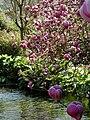 Magnolia x soulangeana Lennei (Vlasak).jpg