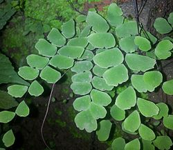 Maidenhair 999855.jpeg
