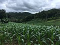 Maize fields in Pang Mapha District 5.jpg
