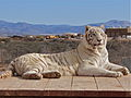 Majestic white tiger.JPG