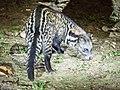 Malayan Civet (14154535152).jpg
