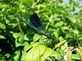Male Banded Demoiselle (Calopteryx splendens) - geograph.org.uk - 494500.jpg
