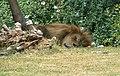 Male Panthera leo sleeping.jpg