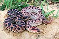 Male and female red phase Southern hognose snakes.jpg