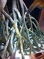 Malpighiales - Rhizophora mangle - 1.jpg