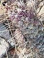 Mammillaria poselgeri (5770733186).jpg