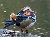 """Mandarin Patinkin"", the Central Park mandarin duck, in 2018"