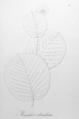 Manihot orbicularis Pohl12.png
