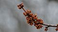 Maple (Acer sp.) Buds - Guelph, Ontario.jpg