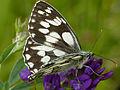 Marbled White Butterfly (Melanargia galathea) (14211576707).jpg