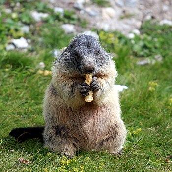 Marmota marmota 07