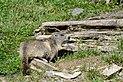 Marmota marmota Tauerntal 20160807 B01.jpg