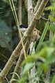 Marsh Tchagra - Ghana 14 S4E2270 (16203014852).jpg