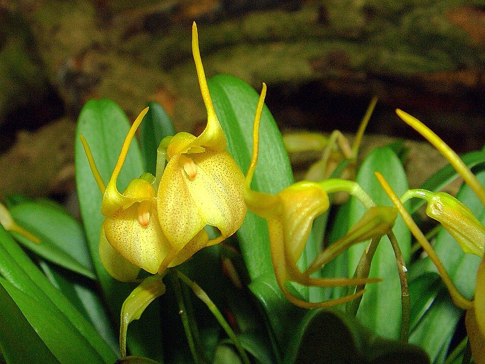 Masdevallia floribunda Orchi 03