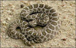 Massasauga - Image: Massasauga rattlesnake 1