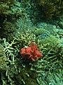 Mawar Laut Alor.jpg