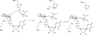 Protein O-GlcNAc transferase - Image: Mechanism of O Glc N Ac Transferase